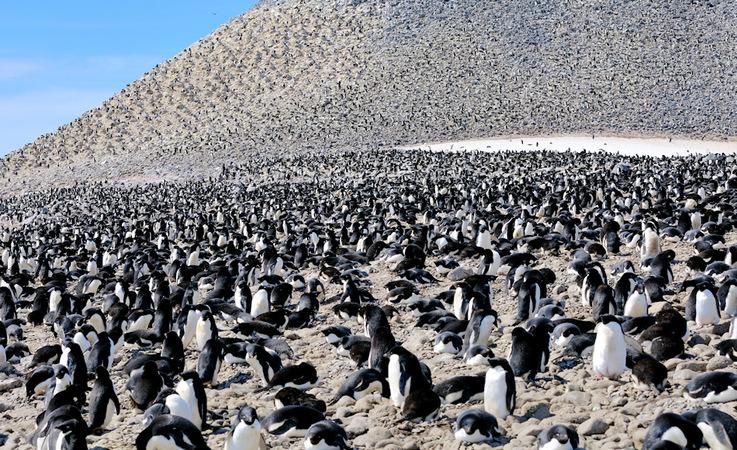 Adéliepinguine brüten entlang der antarktischen Küste ab dem Frühjahr. Ihre Kolonien umfassen
