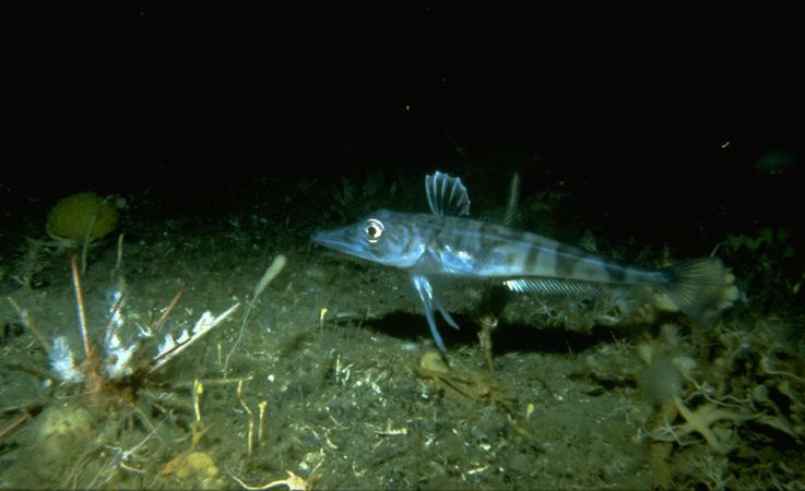 Die Fischarten der Antarktis sehen auf den ersten Blick aus, wie von einem anderen Planeten.
